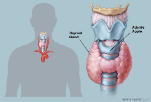 thyroid & parathyroid glands