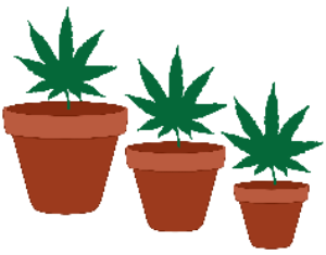 Marijuana Leaves in Flower Pots | Photos and Images | Miscellaneous