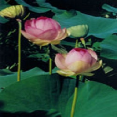 Second Additional product image for - The Lotus Yoga Mudra