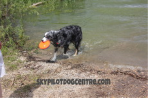 teach your dog how to play disc from scratch