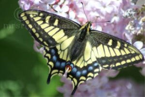 yellow black swallowtail butterfly