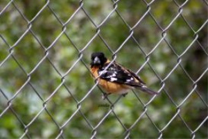 Black-headed Grosbeak | Photos and Images | Animals