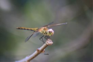 colors of the dragonfly | Photos and Images | Animals