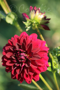 Arabian Night Dahlia Flower Bloom with Bud | Photos and Images | Botanical