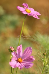the cosmos flowers | Photos and Images | Botanical