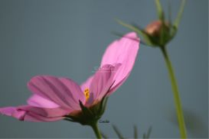 cosmos bloom and bud | Photos and Images | Botanical