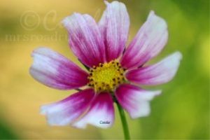 colorful cosmos flower bloom | Photos and Images | Botanical