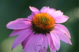 cone flower bloom | Photos and Images | Botanical