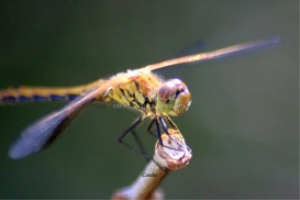common dragonfly micro | Photos and Images | Animals
