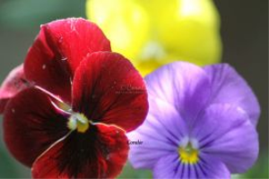 Colors of the Pansy Flowers | Photos and Images | Botanical