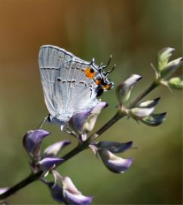 Gray Hairstreak Butterfly | Photos and Images | Animals
