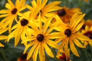black eyed susan flowers | Photos and Images | Botanical