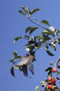 Cedar Waxwing Bird 4 | Photos and Images | Animals