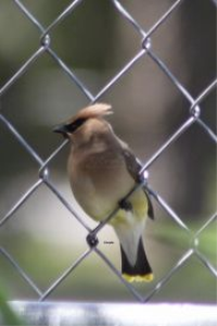 Cedar Waxwing Bird 3 | Photos and Images | Animals