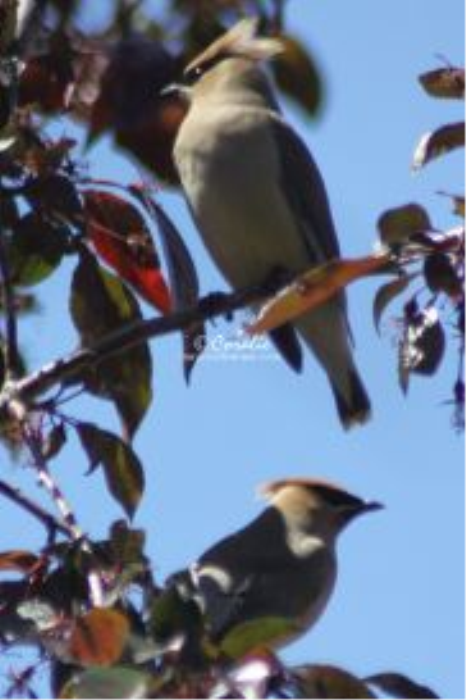 First Additional product image for - Cedar Waxwing Bird 2