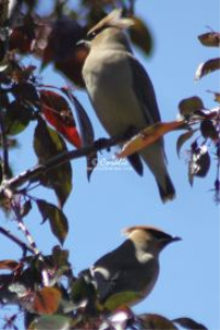 Cedar Waxwing Bird 2 | Photos and Images | Animals