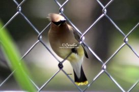 First Additional product image for - Cedar Waxwing Bird 1