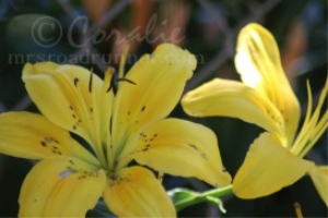 Yellow Lily Flower Blooms | Photos and Images | Botanical