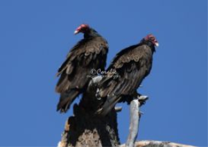 Turkey Vultures Relaxing | Photos and Images | Animals