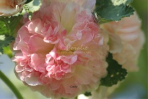 Pink Ruffles of the Hollyhock | Photos and Images | Botanical