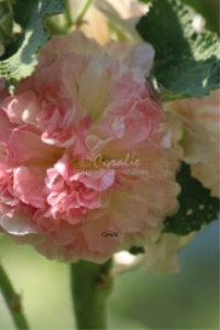 Pink Yellow Hollyhock Flower | Photos and Images | Botanical