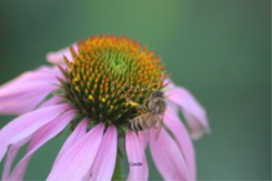 Honey Bee Working on The Cone Flower | Photos and Images | Animals