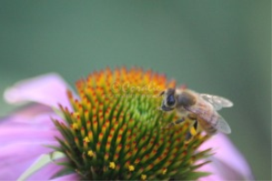 Cone Flower Being Pollinated | Photos and Images | Animals