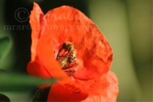 Honeybee Pollinating Red Poppy Flower | Photos and Images | Animals