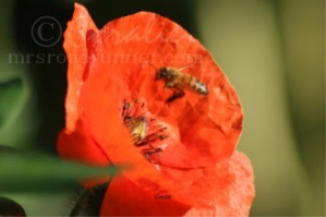 Honeybee Pollinating Red Poppy Flower Series | Photos and Images | Animals