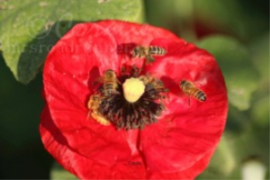 Many Honeybees On Poppy Flower | Photos and Images | Animals