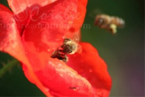 Two Honeybees And Poppy Flower | Photos and Images | Animals