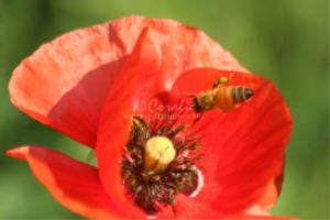 Poppy Flower Being Pollinated | Photos and Images | Animals