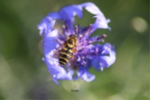 Hoverfly Pollinating Bachelor Button Flower | Photos and Images | Animals