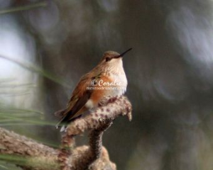 Hummingbird At Rest | Photos and Images | Animals