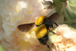 Colorful Bumblebee   Photos and Images   Animals