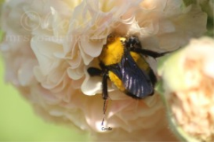Bumblebee Working in a Hollyhock Flower | Photos and Images | Animals