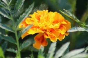 The Marigold Flower | Photos and Images | Botanical