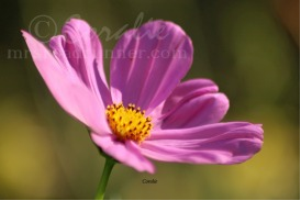 Cheerful Cosmos Flower Bloom | Photos and Images | Botanical