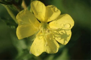 Yellow of the Ozark Sundrop Flower | Photos and Images | Botanical