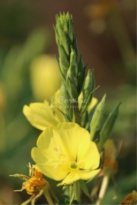 Ozark Sundrop Flowers | Photos and Images | Botanical