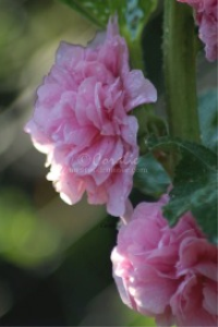 Soft Pink Hollyhock Flowers | Photos and Images | Botanical