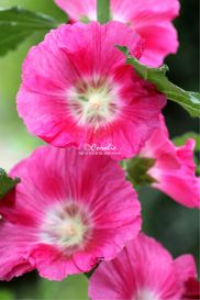 Hot Pink Hollyhock Flowers | Photos and Images | Botanical