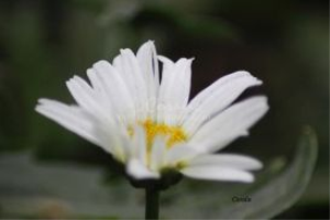 cascade daisy flower bloom | Photos and Images | Botanical