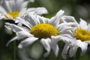 The Cascade Daisy Flowers | Photos and Images | Botanical
