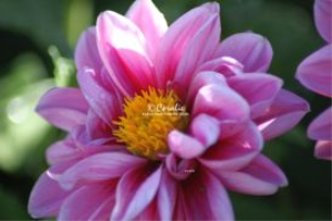 Pink Dahlia Bloom | Photos and Images | Botanical