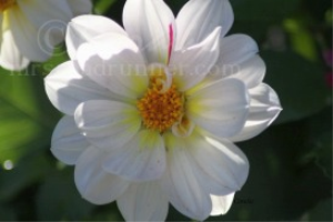 White Dahlia Bloom | Photos and Images | Botanical
