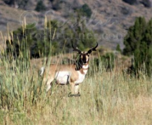 Wild Pronghorn Buck | Photos and Images | Animals