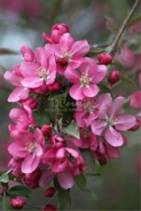 Red Pink Apple Blossoms | Photos and Images | Botanical