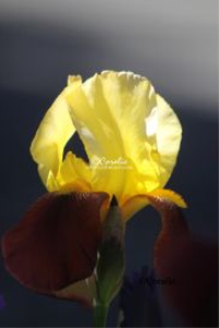 Yellow Maroon Iris Flower | Photos and Images | Botanical