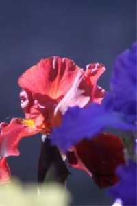 Colorful Iris Flower Blooms | Photos and Images | Botanical